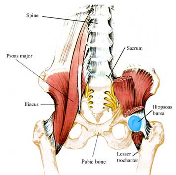 Main Hip Flexor muscles