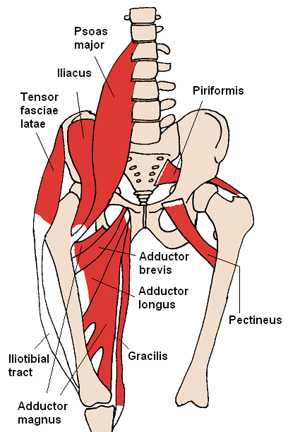 supplementary Hip Flexor muscles